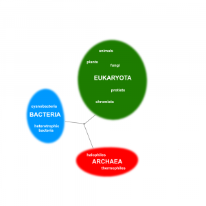 A diagram showing the three domains of life and major groups within each of the domains.
