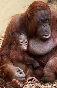 A mother orangutan holds her baby orangutan in her lap with her arm around the infant.