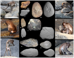 Several pictures of Crab Eating Macaques using stones as tools to help them obtain food by crushing the shells of crabs.