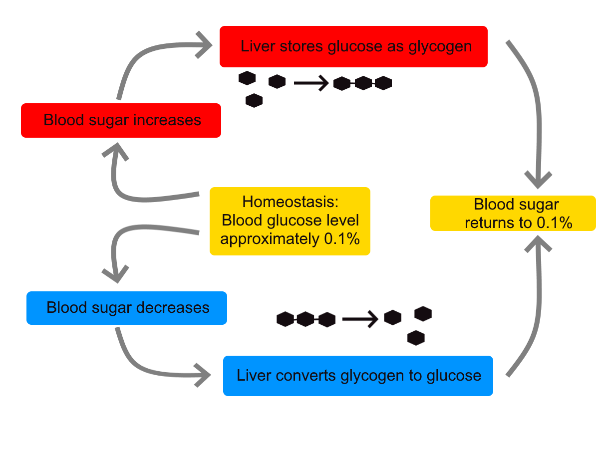 Diagram shows the way in which the liver controls homeostasis of blood sugar by either storing glucose as glycogen when blood sugar levels are too high, or releasing glucose from glycogen when blood sugar levels are too low.