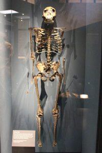 The skeleton of a homo erectus