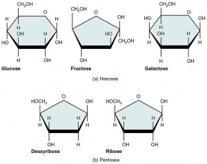 Image shows molecular diagrams of glucose, fructose, galactose, deoxyribose and ribose.