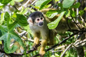 Image shows a small monkey perched in the branches of a tree. The monkey has yellow fur on his lower arms, and a dark grey head and snout. His chest, ears and eye area have whitish fur.