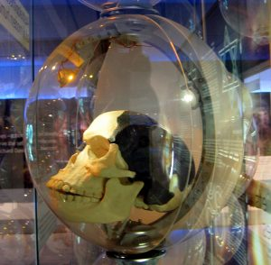A replica of the infamous Piltdown skull. The skull is encased in a glass sphere. The replica shows portions of the skull which were bone in white, and the portions of the skull which were inferred in black.