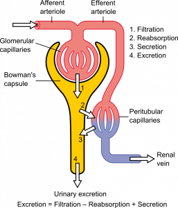 16.4.6 Urine Formation at the Nephron