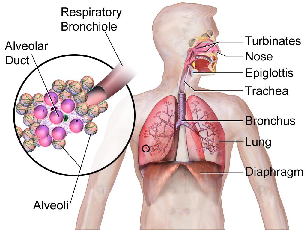 16.2.5 Respiratory System