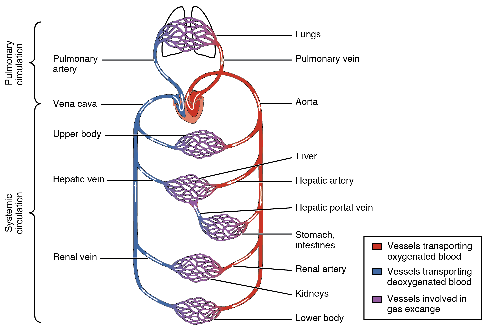 14.2.5 Systemic and Pulmonary Circuits
