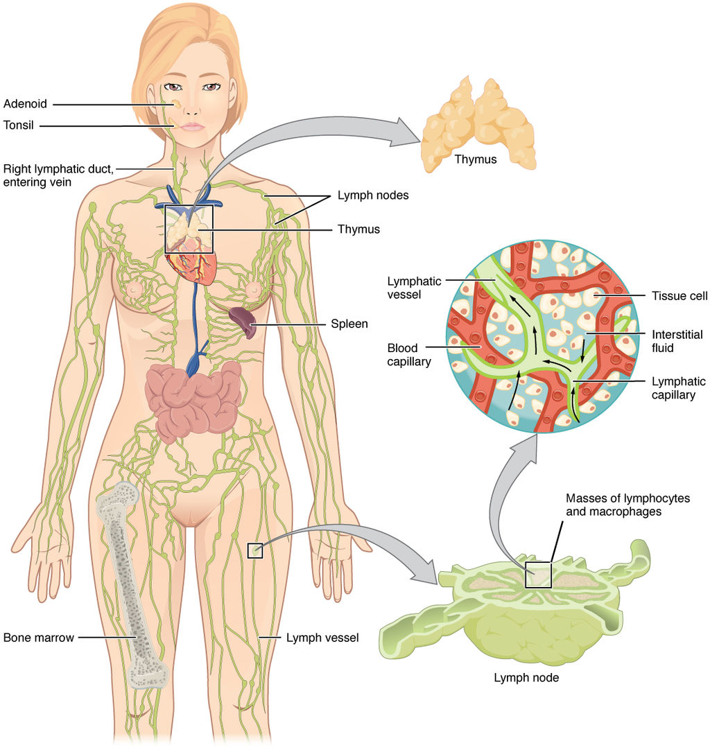 17.2.3 The Lymphatic System