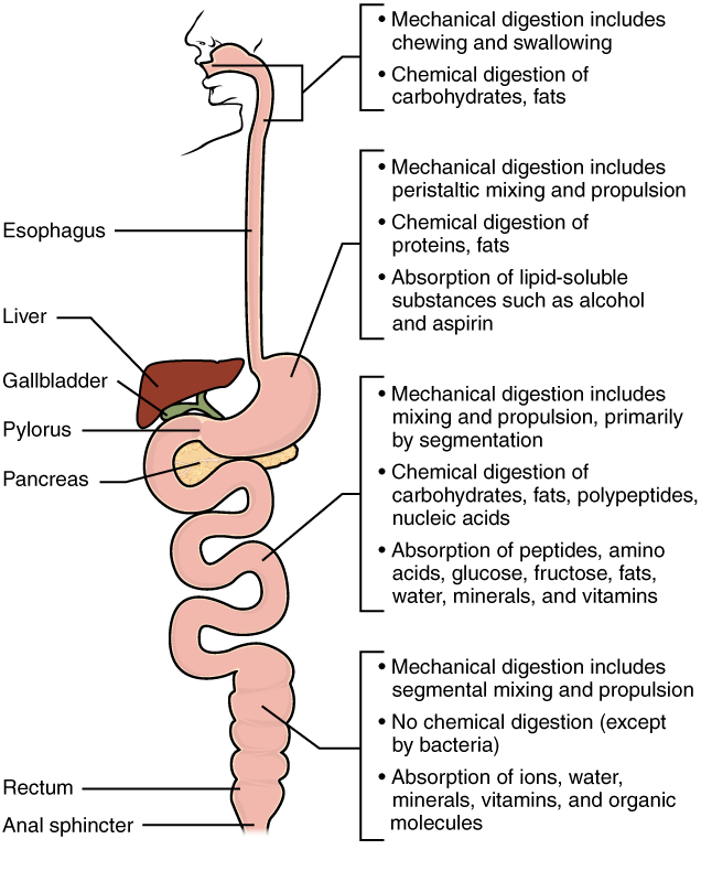 15.3.2 Mechanical and Chemical Digestion