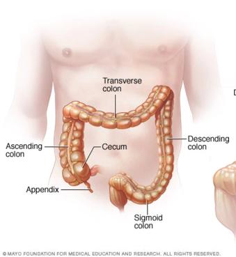 15.5.6 Cecum and Appendix