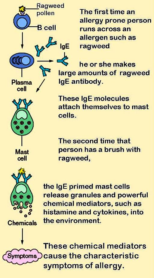 17.3 Allergic Reaction Pathway