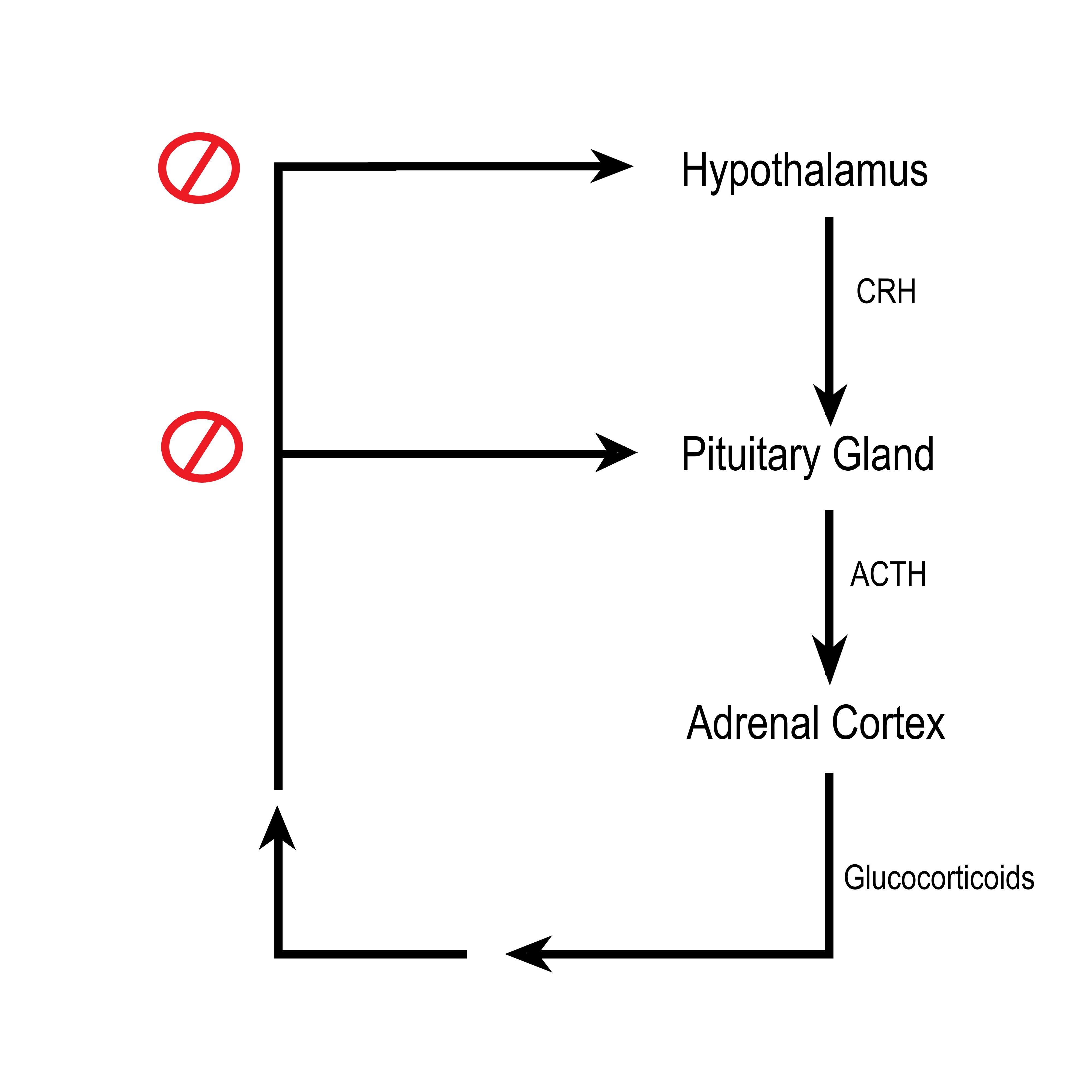 ACTH negative feedback loop