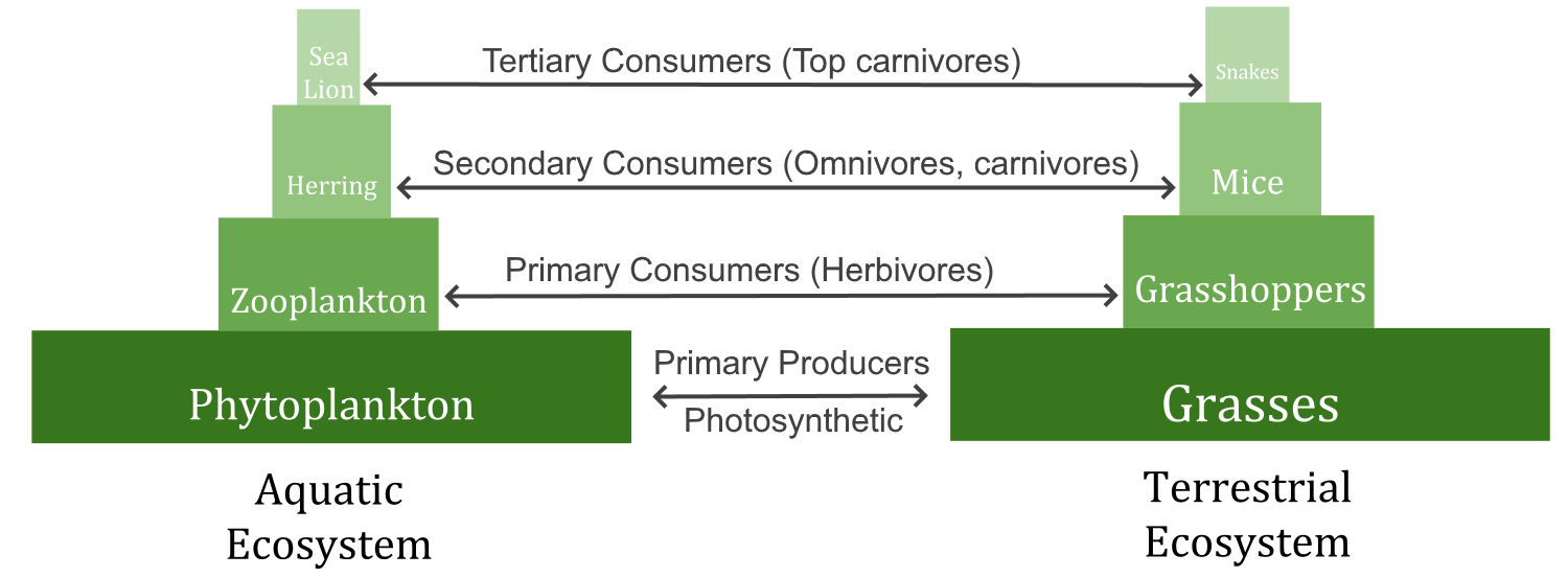Diagram shows two food pyramids, each with trophic levels labelled.