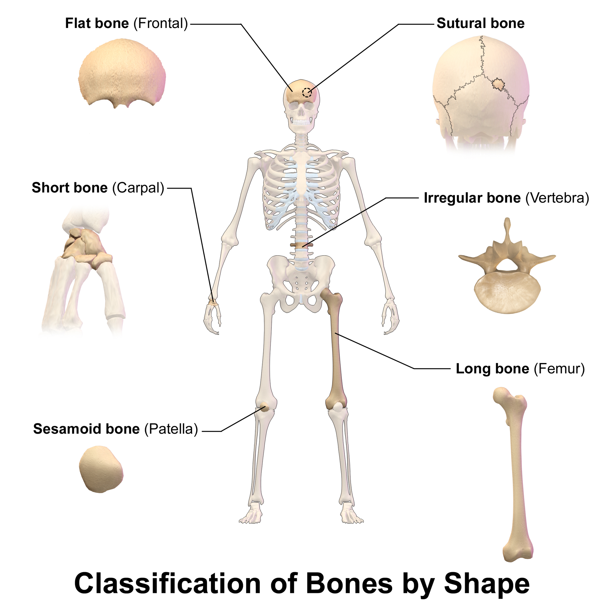 11.4.7 Bone Types of the Body