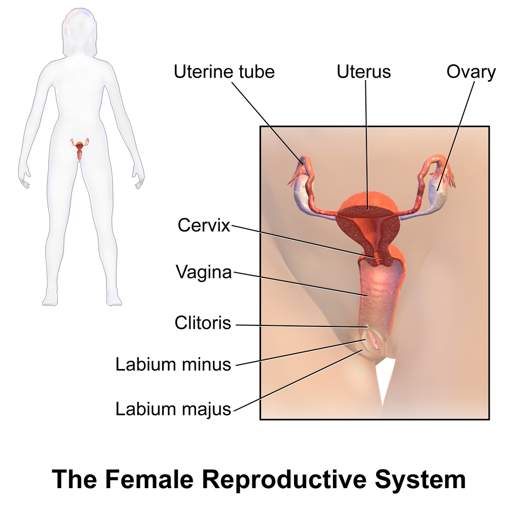 18.2.4 Female Reproductive System