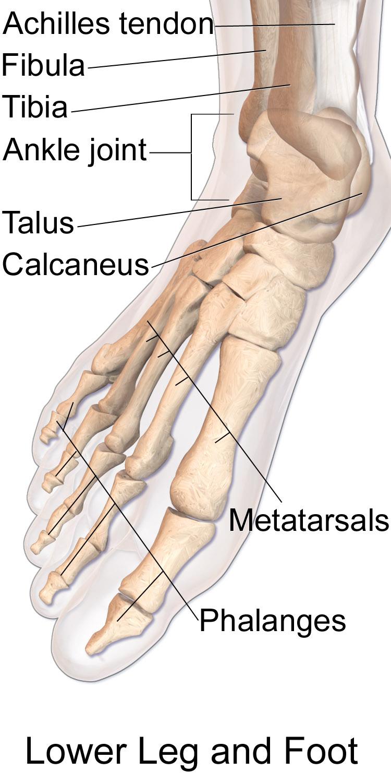 11.3.13 Bones of the foot