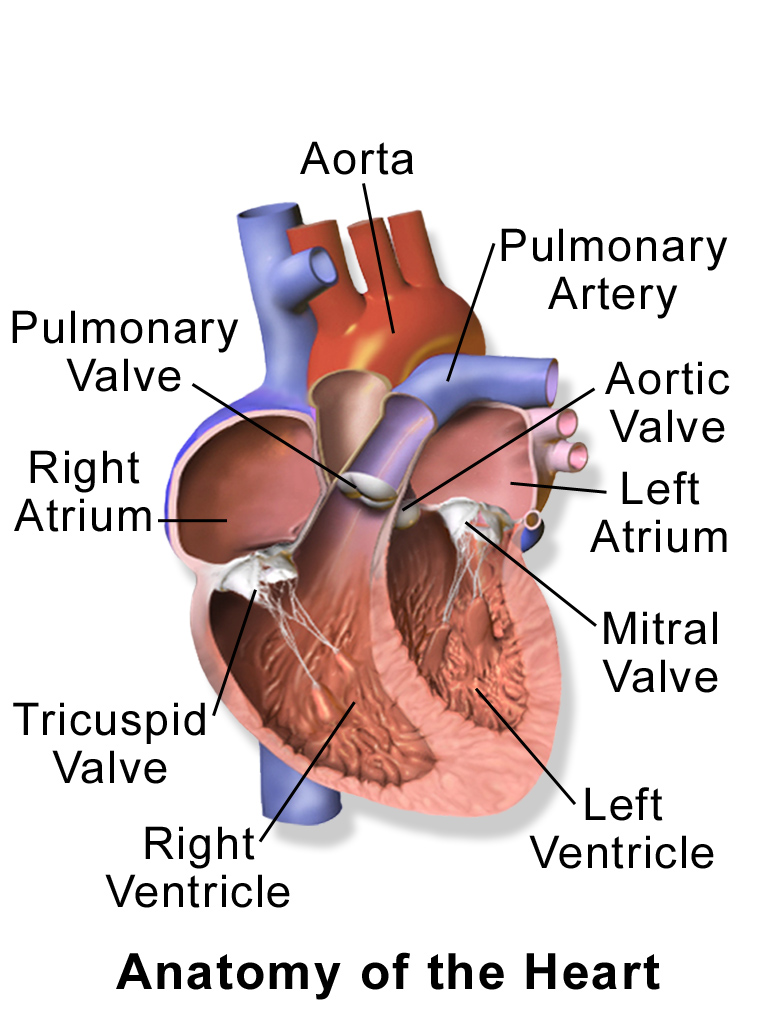 14.2.3 Heart Anatomy