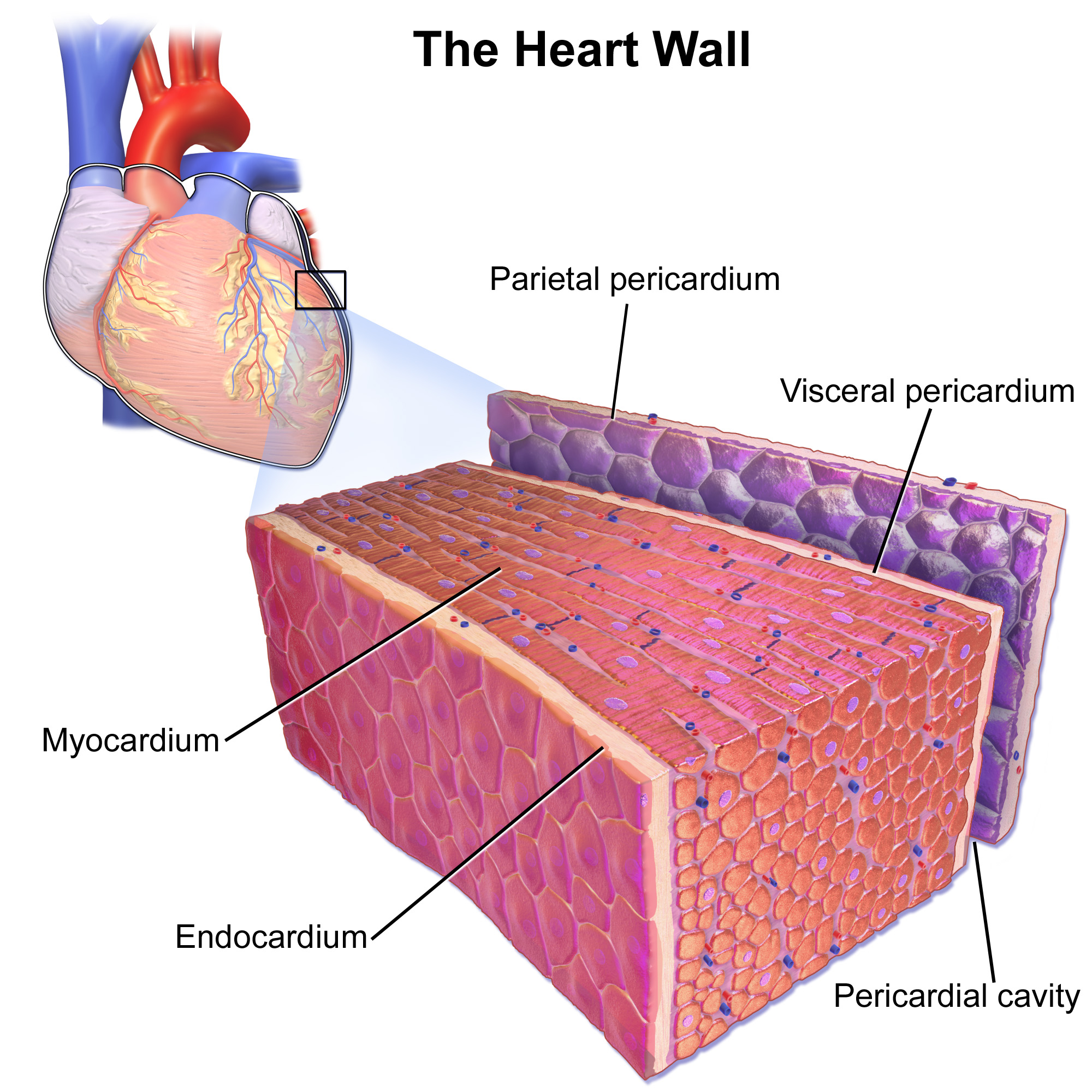 14.3.2 Layers of the Heart Wall
