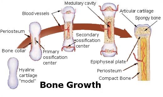 11.5.2 Bone Growth