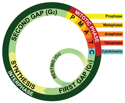 Image shows a diagram of the cell cycle, which includes Interphase (made up of three phases called first gap, synthesis and second gap) and the mitotic phase (made up of prophase, metaphase, anaphase, telophase, and cytokinesis).