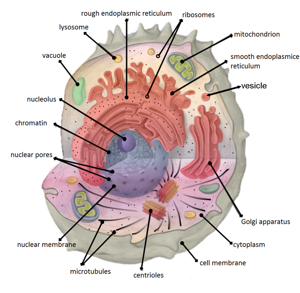 Image shows a diagram of a cell with many organelles and cell structures labelled, including: nucleus, nuclear envelope, nuclear pore, smooth ER, rough ER, ribosomes, mitochondrion, centrioles, vesicles, golgi body, cell membrane, chromatin.