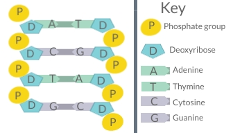A short section of DNA showing complementary base pairing. Shows alternating deoxyribose and phosphate groups forming the two strands of the backbone of the molecule, and the nitrogenous bases pairing in the middle of the polymer- adenine pairing with thymine, and cytosine pairing with guanine.