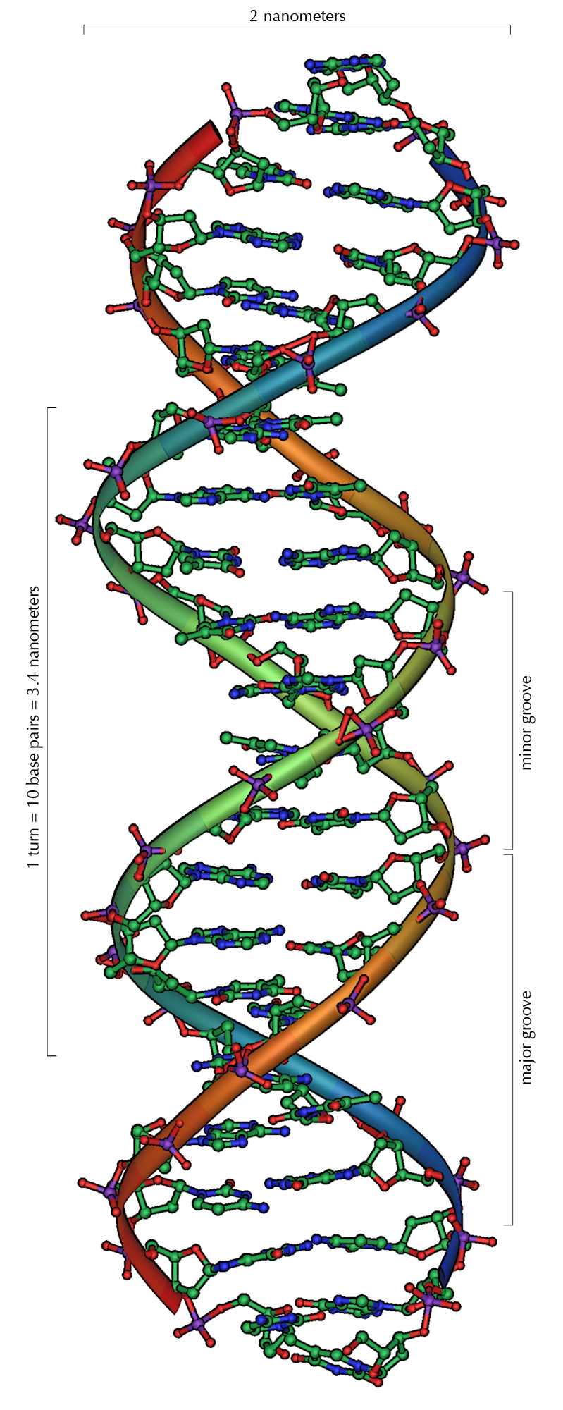 Image shows a diagram of DNA. It is in the form of an alpha helix, each double strand is 2 nanometers wide, and a full turn of the helix is 10 base pairs and measures approximately 3.4 nanometers.