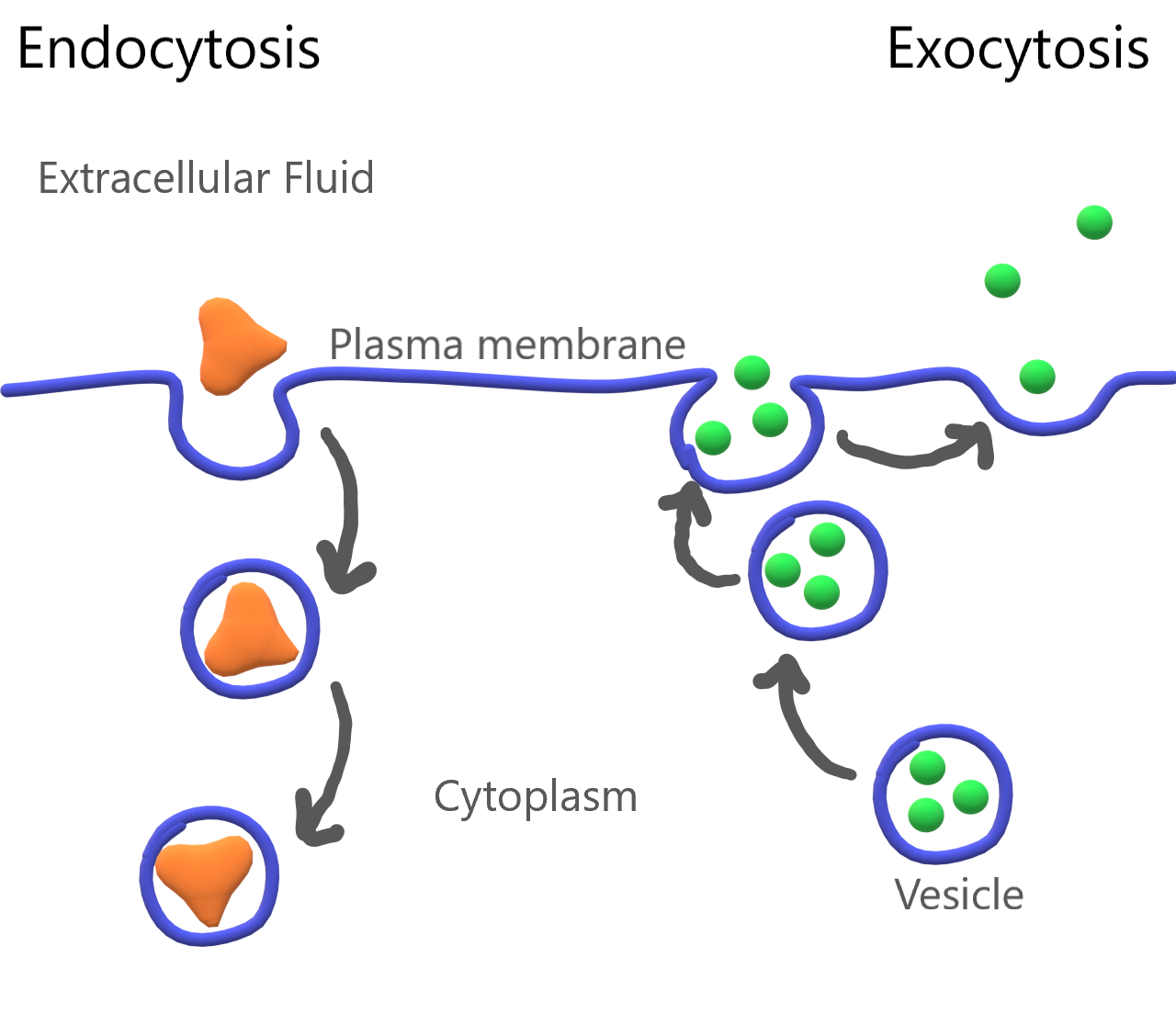 Image shows a diagram of both endocytosis and exocytosis. On the left side of the diagram, and large particle is being brought into the cell by creating a pocket of plasma membrane around the particle. This pocket deepens and eventually pinches off from the rest of the membrane, forming a vesicle containing the particle. This process is called endocytosis. On the right side of the diagram, a vesicle containing substances for export out of the cell are contained in a vesicle. The vesicle travels to the cell membrane and the vesicular membrane fuses with the cell membrane, releasing the contents of the vesicle outside of the cell.