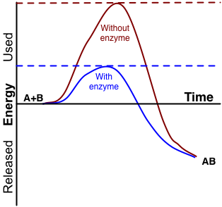 Image shows a graph of the energy in a chemical reaction as reactants A and B are converted to product AB. The activation energy for this reaction is shown in two ways: with and without an enzyme. The activation energy with the enzyme is lower than without.