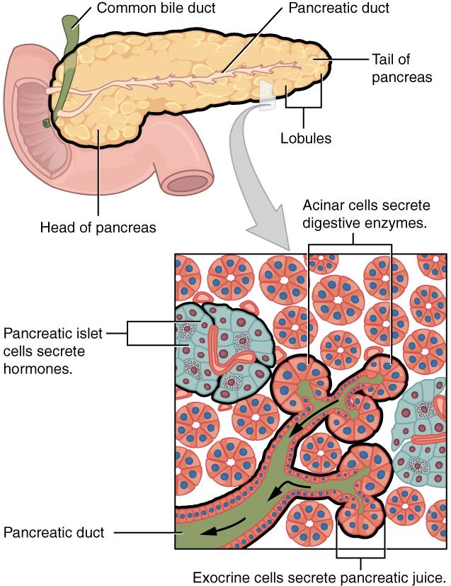 Pancreas: Endocrine and Exocrine Gland