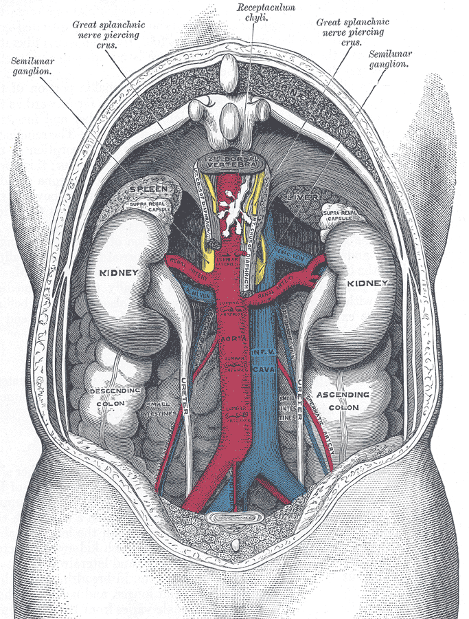 16.4.2 Classic Kidney Illustration from Gray's Anatomy
