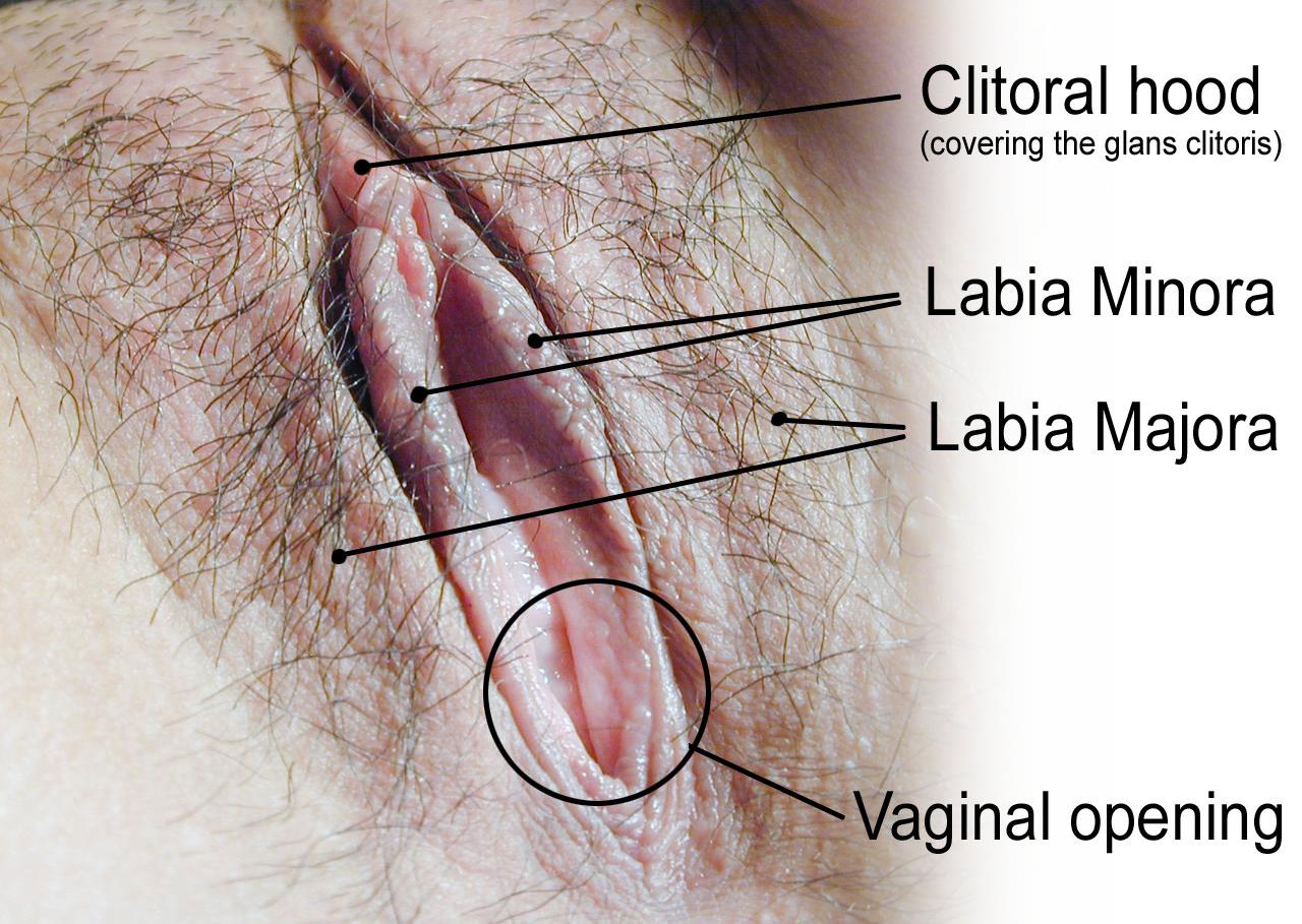 18.6.5 Vulva Labeled