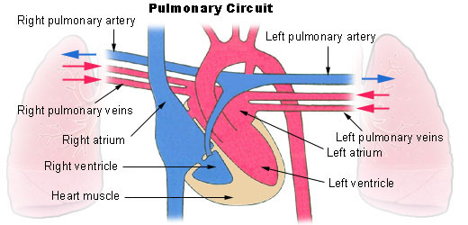 14.2.6 Pulmonary Circuit
