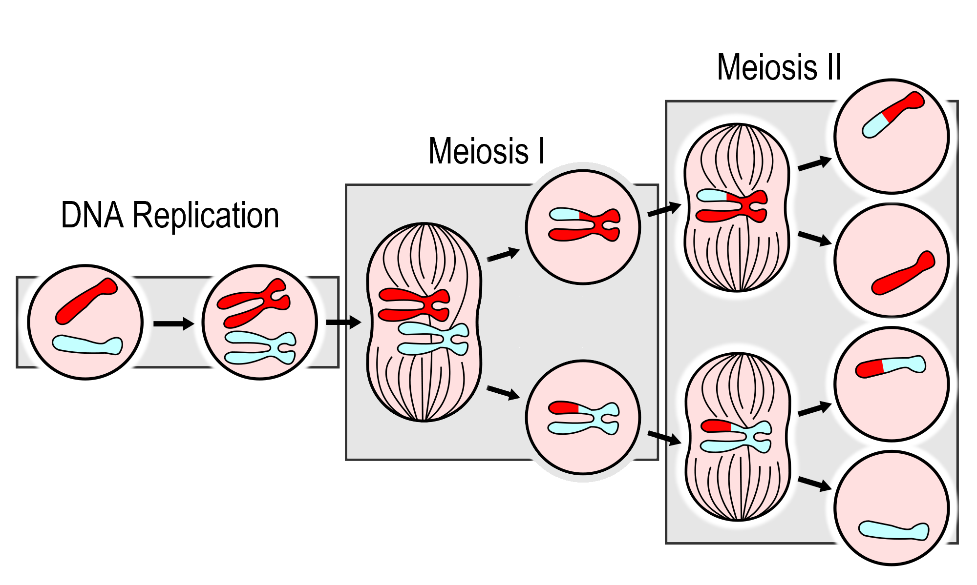 Image shows the major events in Meiosis