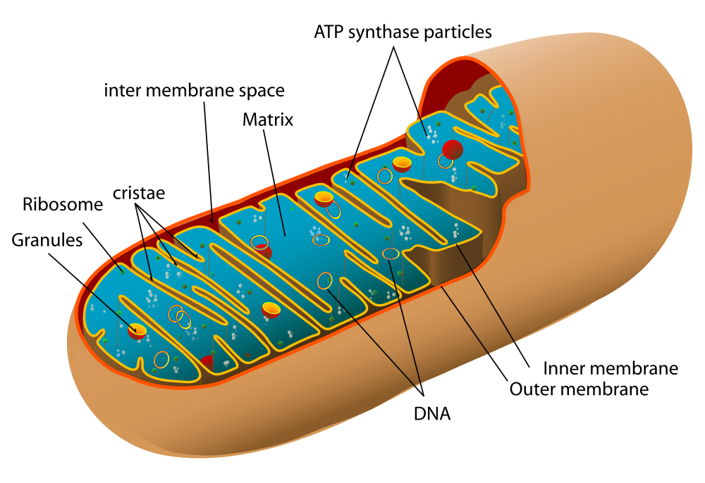 Image shows a diagram of a mitochondria. Several structures are labelled including cristae, matrix, DNA, intermembrane space, inner membrane, outer membrane, and ATP synthase particles.