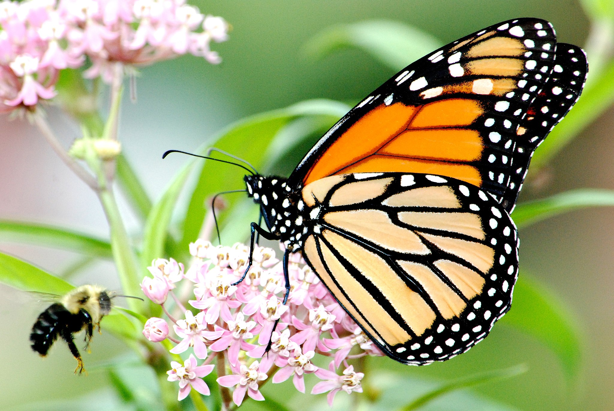 Image shows a monarch butterfly feeding from milkweed blossoms.