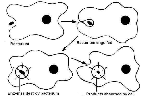 17.2.2 Phagocytosis