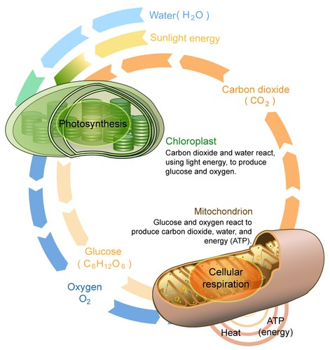 Image shows a diagram of photosynthesis taking place in chloroplasts and converting carbon dioxide and water into glucose and oxygen. The image also shows how the products of photosynthesis can be transferred into the mitochondria to undergo cellular respiration, converting them back into carbon dioxide and water, and in doing so, releasing the stored energy in the glucose molecule.