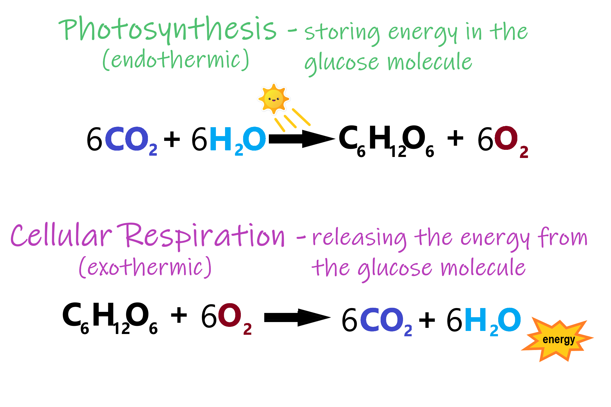 Image shows the formula for photosynthesis: Carbon dioxide and water are converted to glucose and oxygen, which is an endothermic reaction drawing its energy from the sun. Cellular respiration carries out the opposite reaction, breaking down glucose in the presence of oxygen to produce carbon dioxide and water, and releasing the energy previously stored in the glucose molecule, which is an exothermic reaction.