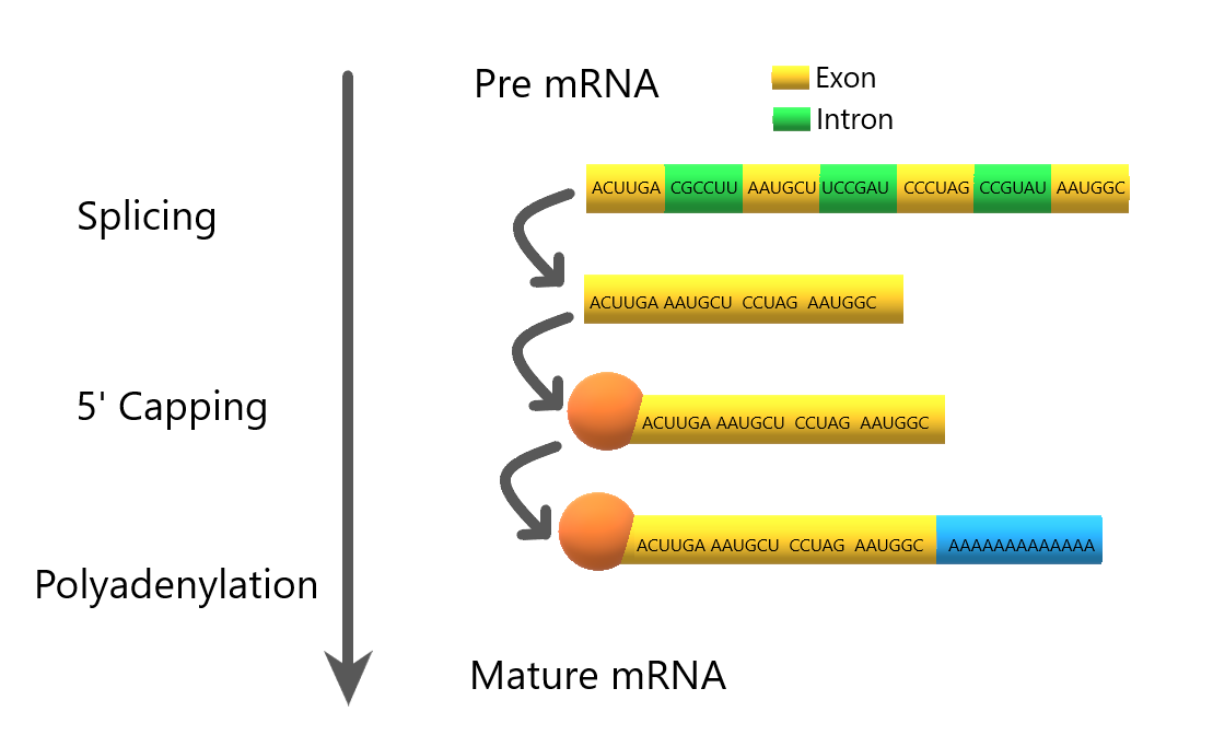 mRNA requires processing before it leaves the nucleus