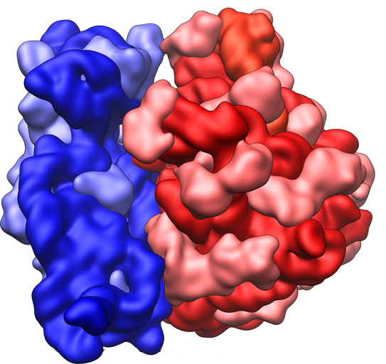 Image shows a diagram of a ribosome. It is made up of two sub-units, a smaller sub-unit shown in blue and a larger sub-unit shown in red.