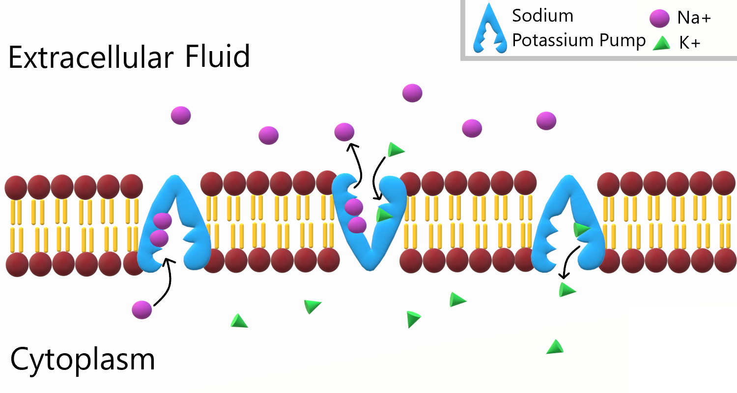 Image shows a diagram of a sodium potassium pump. The pump collects three sodium ions, and moves them out of the cell, against the concentration gradient by changing its shape. Then, the pump collects 2 potassium ions and by changing its shape, moves these two ions into the cell, also against the concentration gradient.