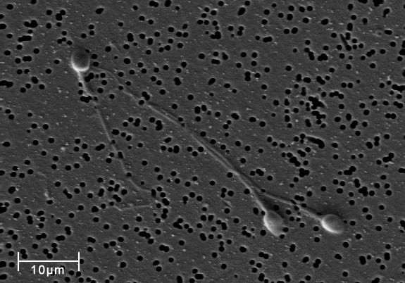 Image shows a scanning electron microscope image of three human sperm on a porous surface.