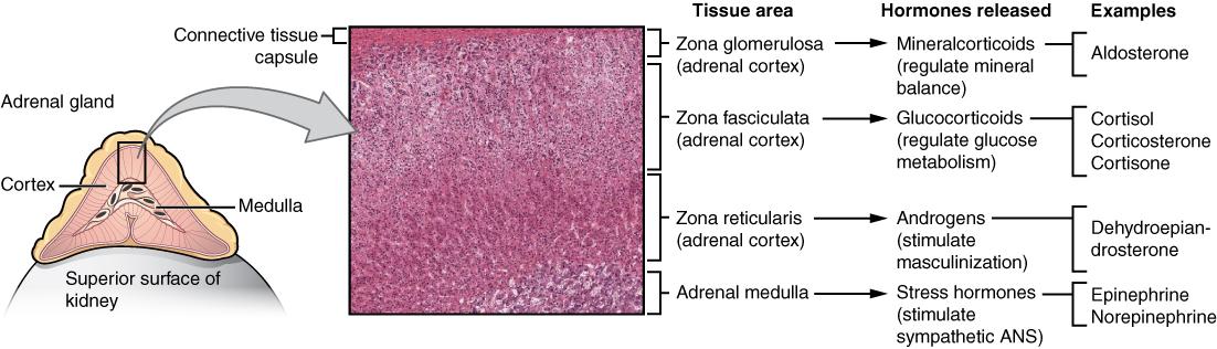 The adrenal gland hormones