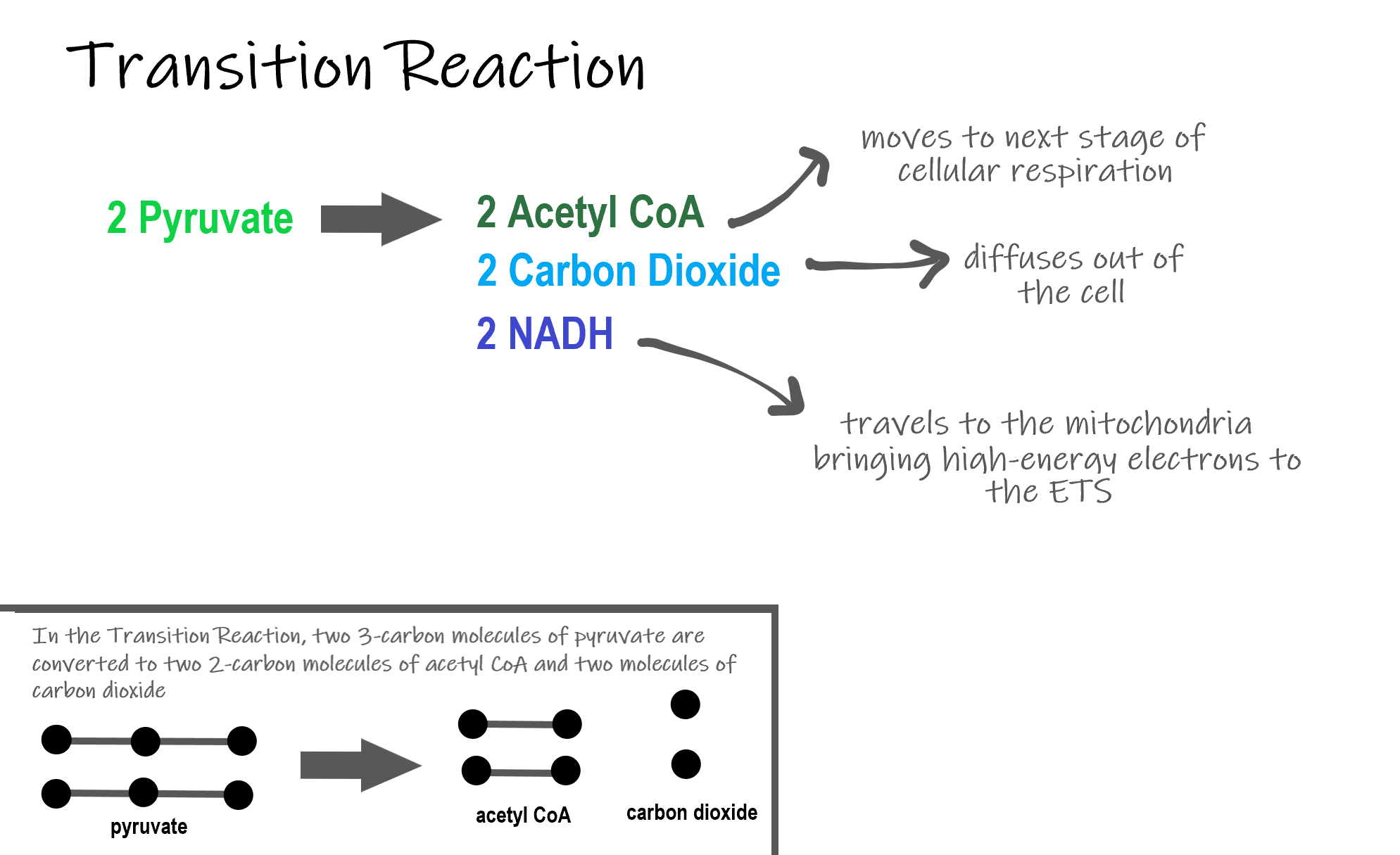 Image shows a diagram of the transition reaction. In this reaction, 2 Pyruvate are converted to two acteyl CoA and 2 Carbon dioxide. In this process, 2 NADH are sent to the ETS carrying high energy electrons. The carbon dioxide leave the cell as metabolic waste and the acetyl CoA enter the Krebs Cycle.