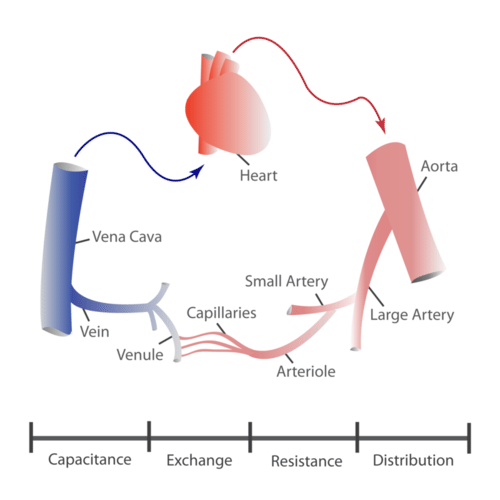 14.2.4 Function of Blood Vessels