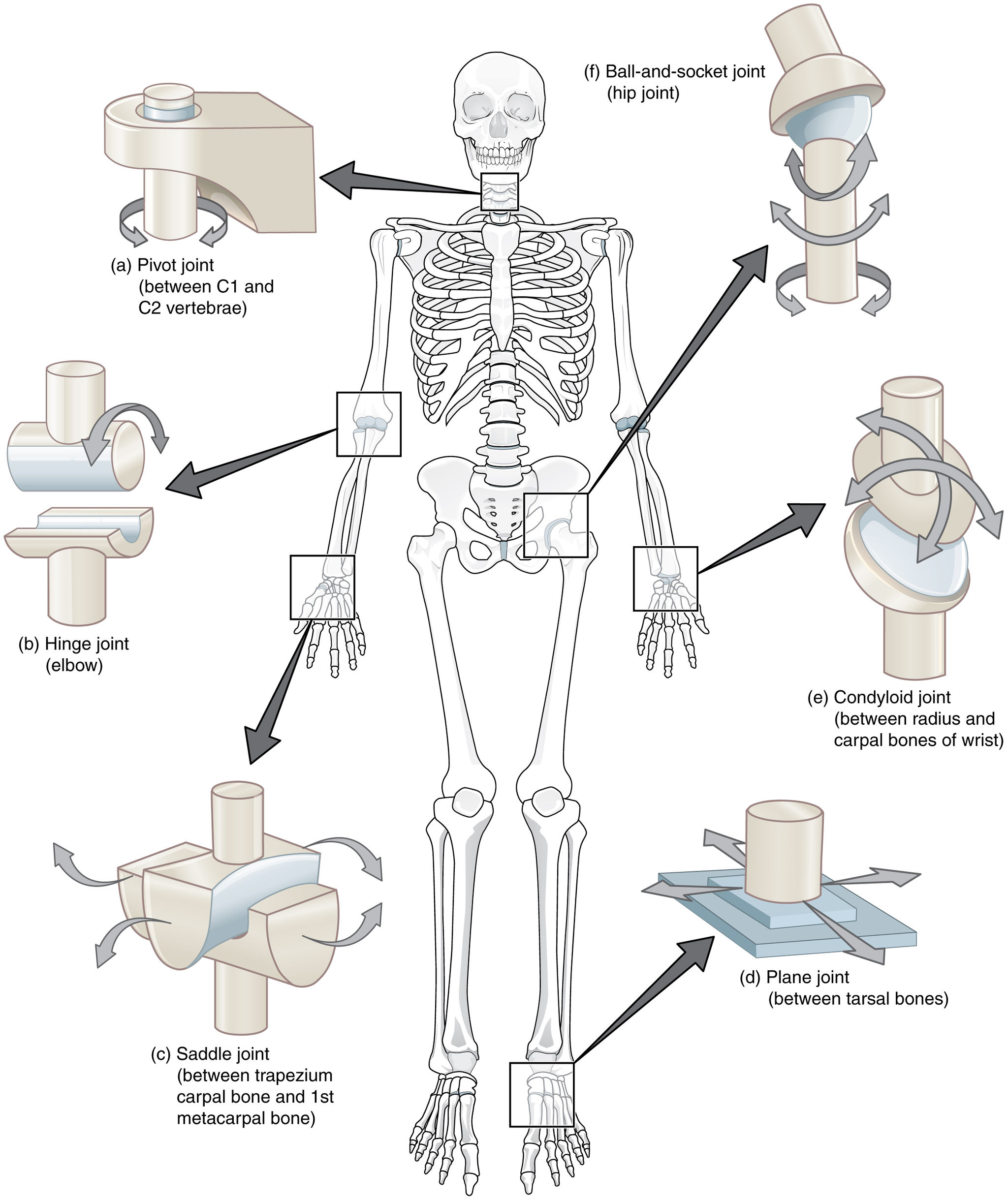11.6.3 Types of Synovial Joints