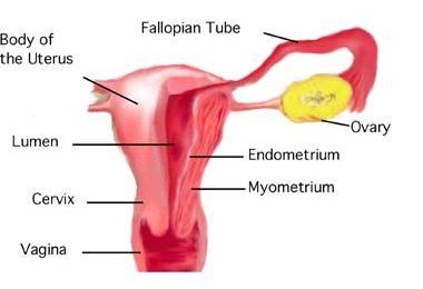 18.6.3 Layers of the Uterus