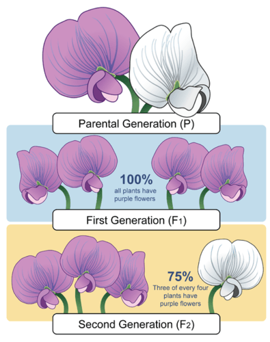 Image illustrates the inheritance of colour in pea plants