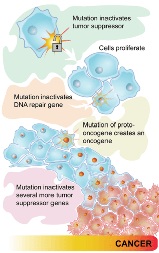 This flow chart shows how a series of mutations in tumor-suppressor genes and proto-oncogenes leads to cancer.